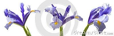 Iris lowers