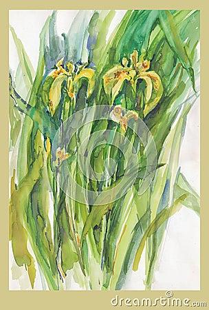 Iris, no.1