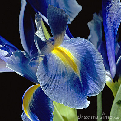 Free Iris On Black Stock Image - 4383271