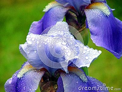 Iris After a Summer Rain