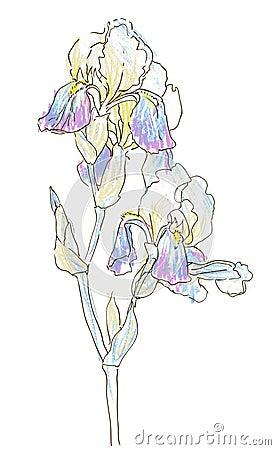 Iris,vector