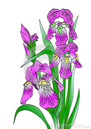 Iris on white background