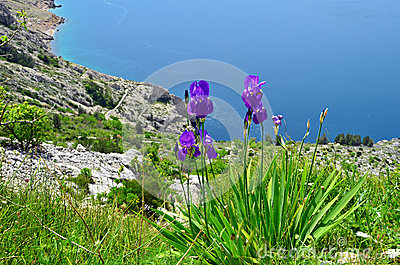 Irises on a mountain slope