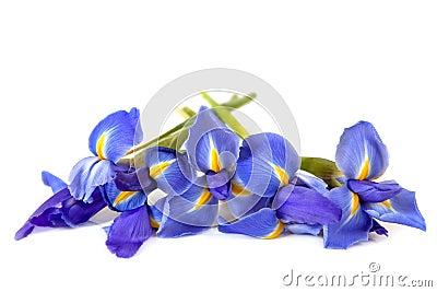 Irises over White
