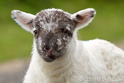 Irish baby lamb