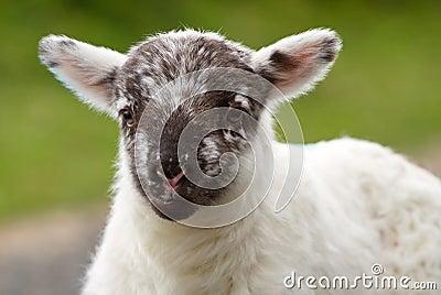 Irish baby lamb