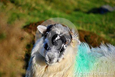 Irish black face sheep