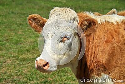 Irish bull