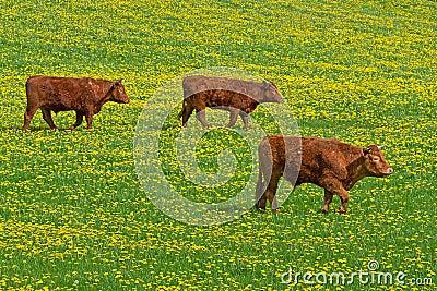 Irish bulls