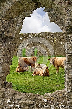 Irish cows in abbey ruins