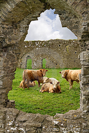 Free Irish Cows In Abbey Ruins Stock Images - 19218534
