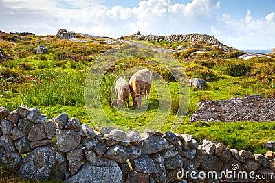 Irish Cows On Pasture