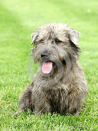 Free Irish Glen Of Imaal Terrier Royalty Free Stock Photography - 26541927