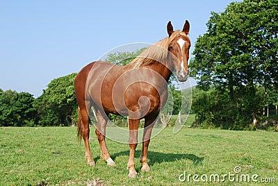 Irish horse