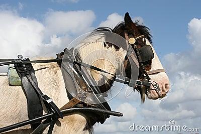 Irish horse on duty