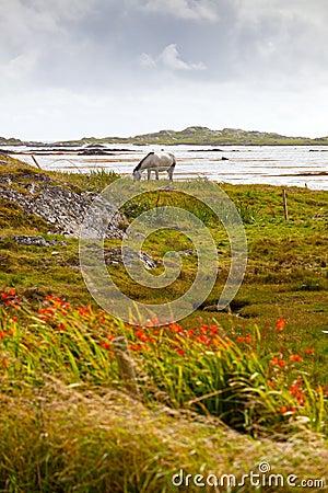 Irish Horse On Pasture