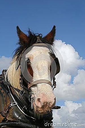 Irish horse working hard