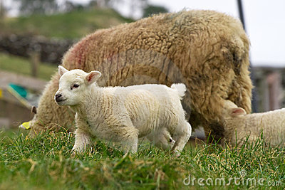 Irish lamb on the farm