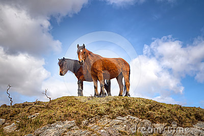 Irish mountain horses