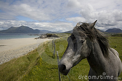 Irish Pony