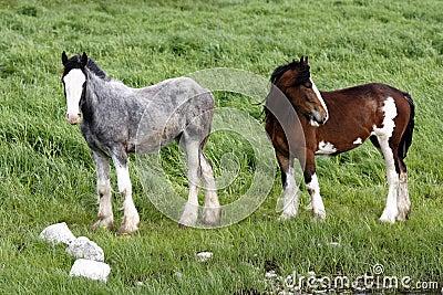 Irish ponys