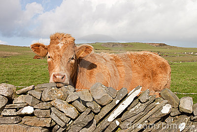 Irish red cow on meadow.