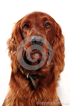 Free Irish Red Setter Royalty Free Stock Images - 27691189