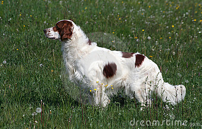 Irish red and white setter male