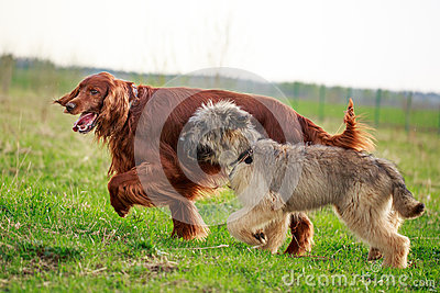 Irish setter and briard
