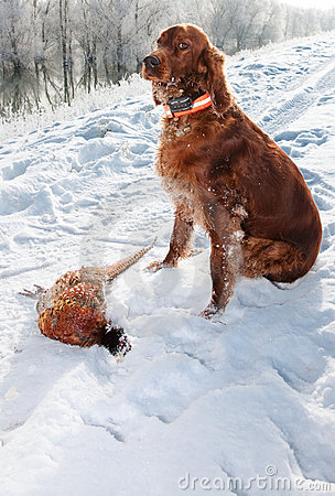 Irish setter fetching the prey during hunt