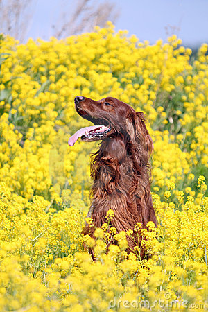Irish setter in flowers