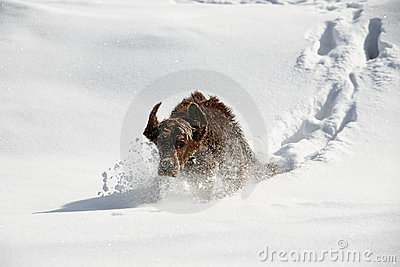 Irish setter in snow