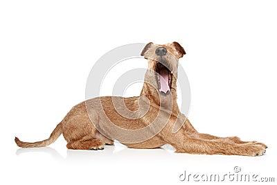 Irish terrier yawing