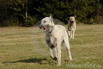 Irish wolf hounds running