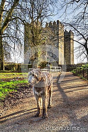 Irish wolfhound at Bunratty castle