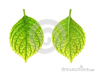 Iron deficiency of Hydrangea macrophylla leaf - ch