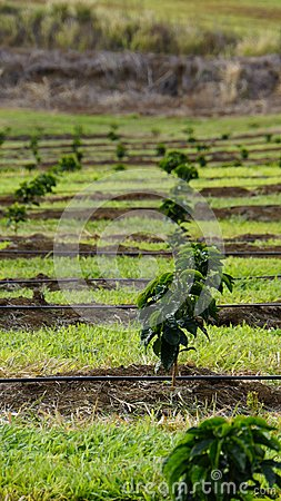 Young coffee trees