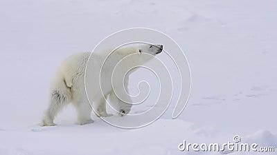 Isbjörn som går på isen