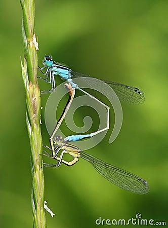Free Ischnura Elegans - Common Bluetail Damselfly Pair Royalty Free Stock Photo - 8436635