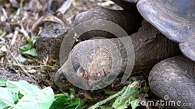 Isla Seymore, Galápagos, Ecuador - 2019-06-20 - Las tortugas adultas comen lechuga en el centro de conservación metrajes