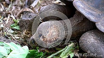 Isla Seymore, Galápagos, Ecuador - 2019-06-20 - Las tortugas adultas comen lechuga en el centro de conservación - cerrar almacen de video