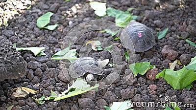 Isla Seymore, Galápagos, Ecuador - 2019-06-20 - Las tortugas nupcias comen lechuga en el centro de conservación almacen de metraje de vídeo