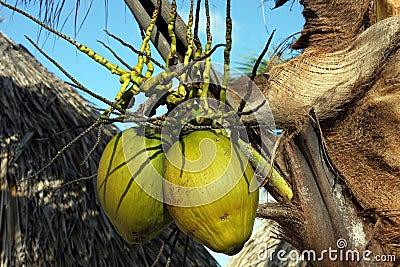 Island coconuts