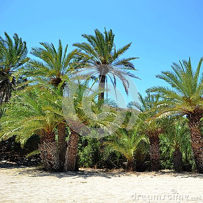 Island crete, greece, palm tree