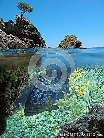 Island and dusky grouper