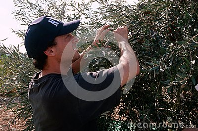 An ISM volunteer in an olive grove, Palestine. Editorial Image