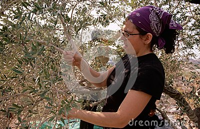A ISM volunteer in an olive grove in Palestine. Editorial Stock Photo