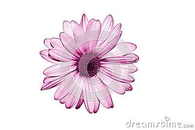Isolate purple flower on white background