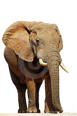Isolated African Elephant Bull (loxodonta africana