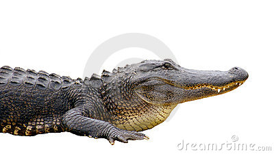 Isolated Alligator